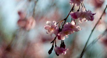 Bon plan: Paris Tokyo pendant la floraison des cerisiers, 575 €