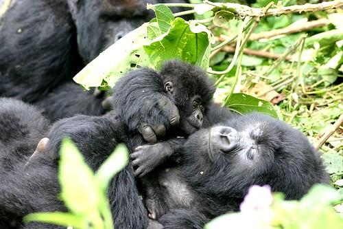 Gorille du Rwanda
