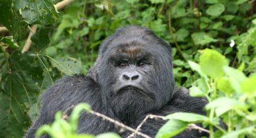 Visitez le parc national des volcans du Rwanda !