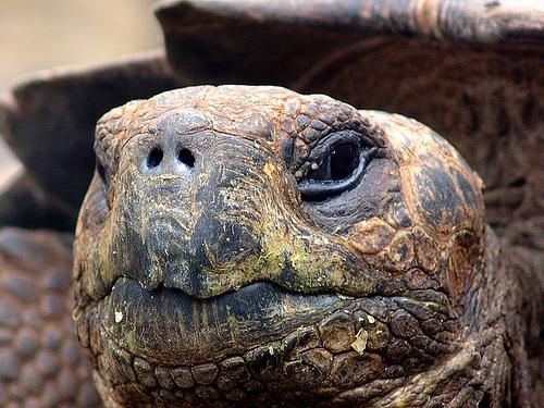 galapagos-tortue