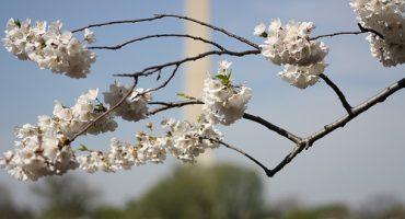 Washington : le festival des fleurs de cerisiers