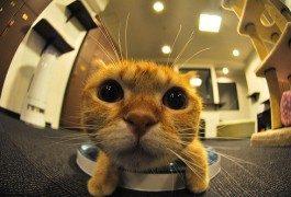 Japon : il faut sauver les « cafés à chats » !