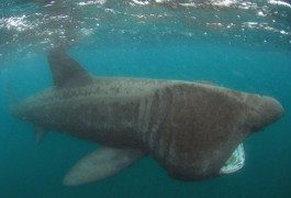Observer des requins-pèlerins en Bretagne