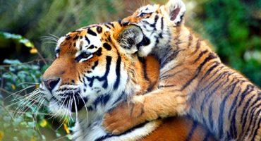 L'Inde restreint le tourisme pour protéger ses tigres