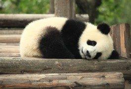 Qui veut devenir l'ambassadeur des pandas ?