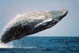 Hawaï, paradis des surfers… et des baleines