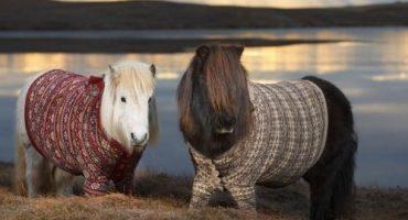 L'Écosse, le pays où les poneys portent des pulls
