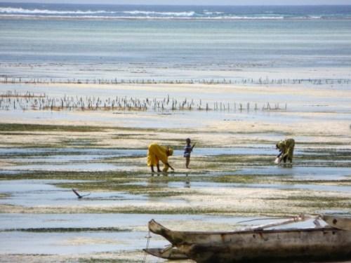 Le ramassage des algues à Zanzibar