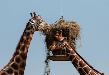 girafes-thoiry