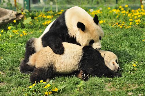 Les pandas du Tiergarten Schönbrunn