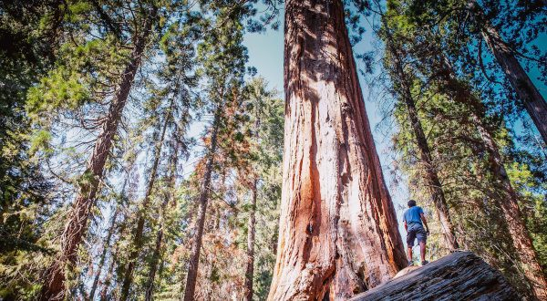 Sequoia - Californie