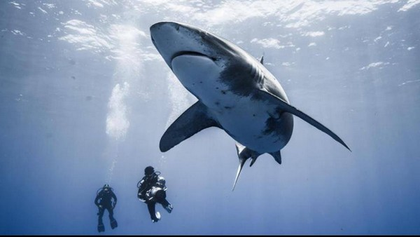 Lors d'un tournage aux Bahamas, rencontre avec un longimanus. Source : Jérôme Delafosse - les Nouveaux Explorateurs, sur Facebook