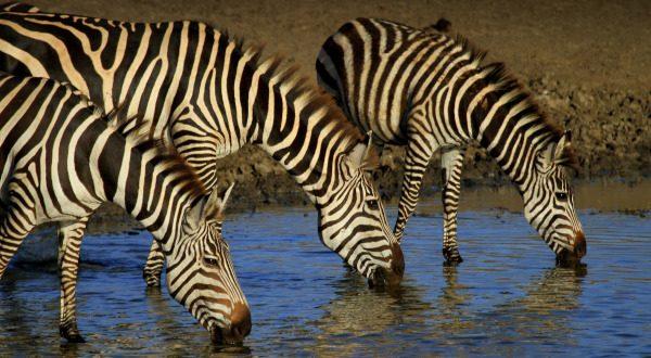 Zèbres - Lac Manyara