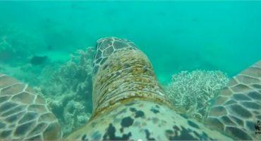La Grande Barrière de corail, à dos de tortue