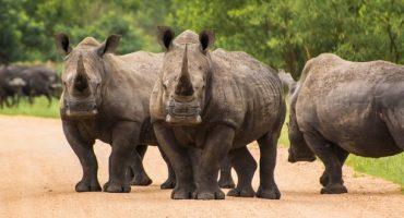 Lions, léopards et autres rhinocéros interdits dans les bagages !