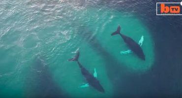 Une vidéo impressionnante de baleines à bosse en plein festin