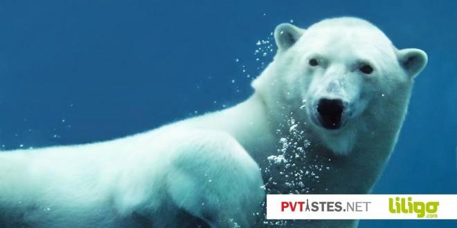 ours blanc sous l'eau canada