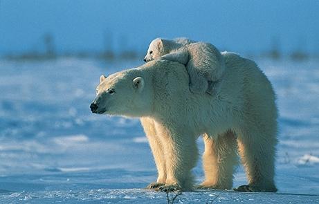Ours blanc avec bébé sur le dos