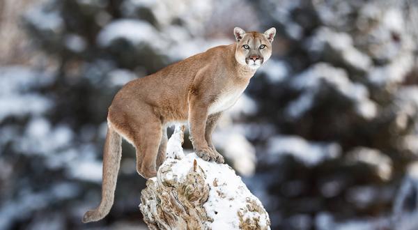 puma cougar au canada