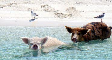 Nagez avec les cochons aux Bahamas
