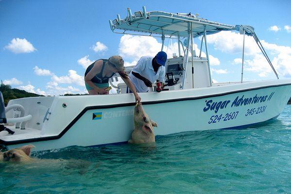 cochons bahamas bateau