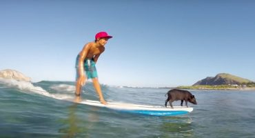 Vidéo : un bébé cochon surfeur