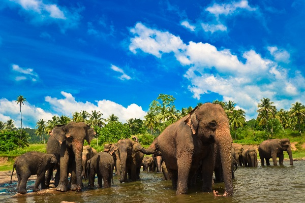Eléphants dans le parc de Walawe