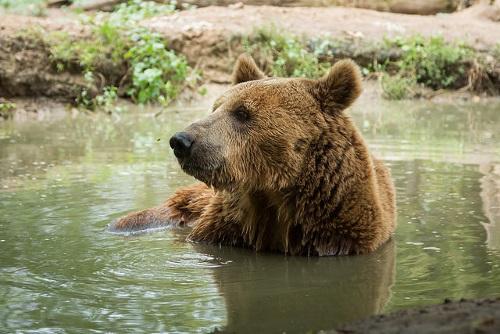 Grizzly RU