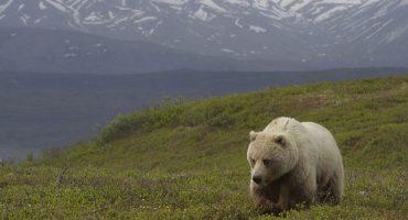 Les meilleurs endroits pour observer le grizzly