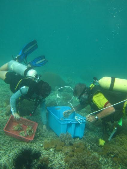 Réparation de récifs coralliens au large de l'île de Pom Pom, en Malaisie