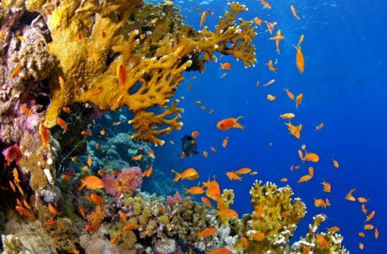 """Les récifs coralliens, véritables """"forêts tropicales"""" de nos océans…"""