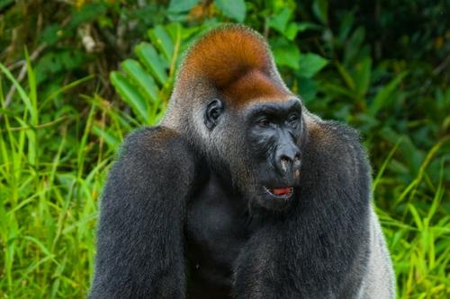gorille Congo