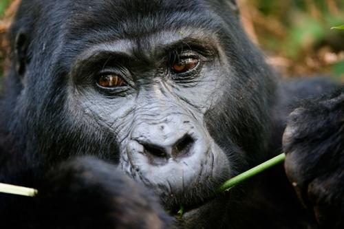 gorille gabon