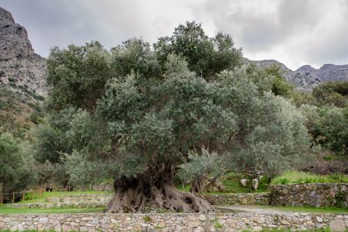 L'olivier de Vouves