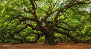 Tour du monde des plus vieux arbres de notre planète