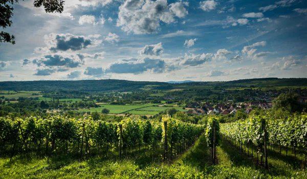 Vignoble - Alsace