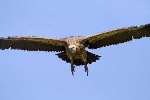 vautour_fauve