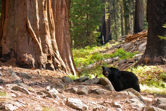 Ours noir dans le parc national du sequoia Californie