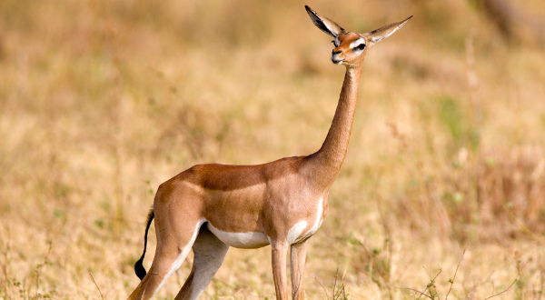 Gazelle-de-Waller