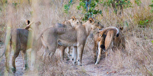 Safari-Zambie