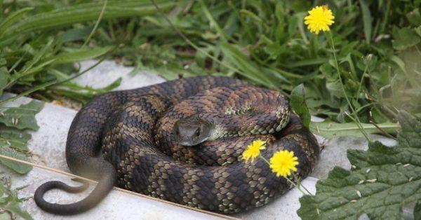 serpent-tigre