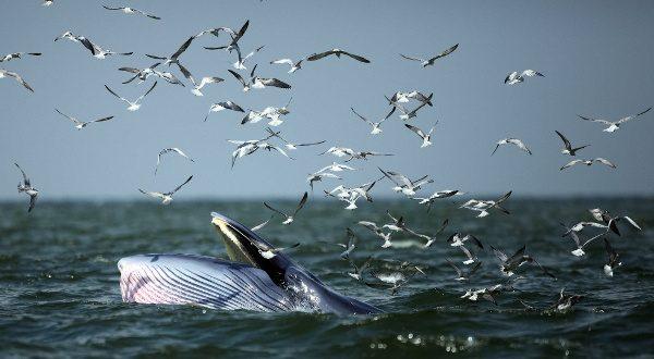 Baleines bleues, côtes sri-Lankaises - Copy