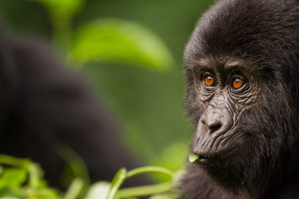 Rwanda gorille