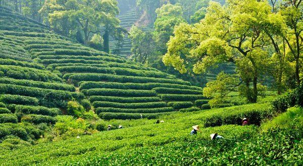 Hangzhou plantation de thé