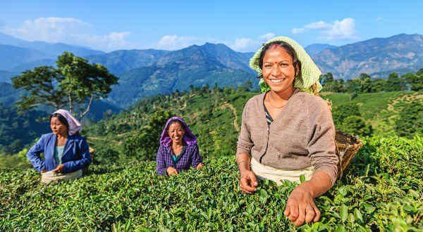 thé Darjeeling, Inde