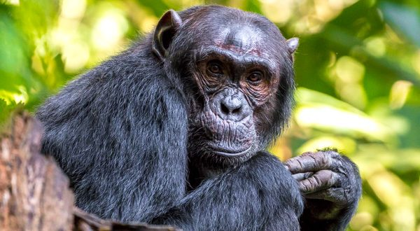 11-lagirafeetlegrizzly-chimpanze-kibale