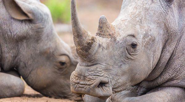 2-lagirafeetlegrizzly-rhinoceros-kruger