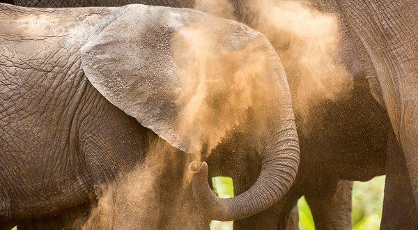 5-lagirafeetlegrizzly-elephant-poussiere