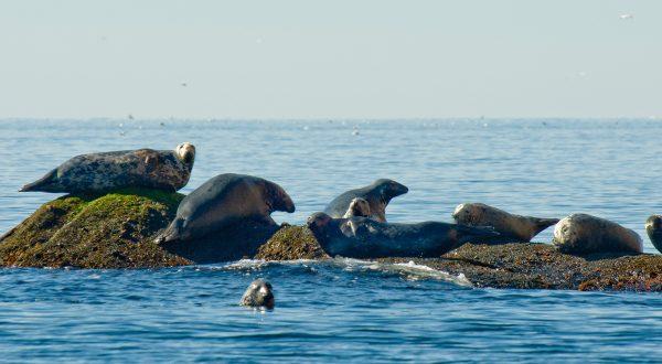 phoques gaspésie, québec, istock