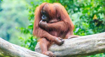 À la rencontre des orangs-outans en Indonésie